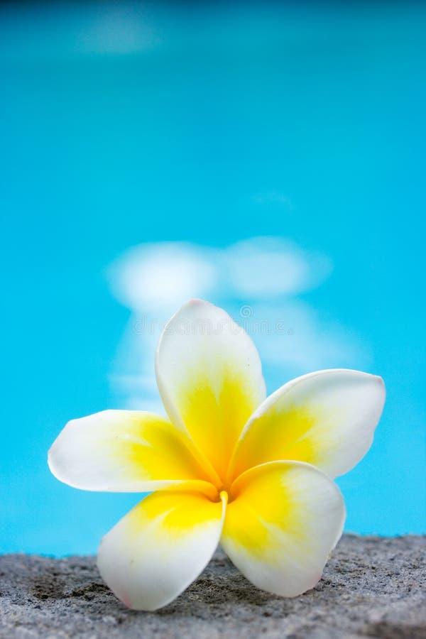 Tropischer Frangipaniblumen- und -swimmingpool stockfotografie