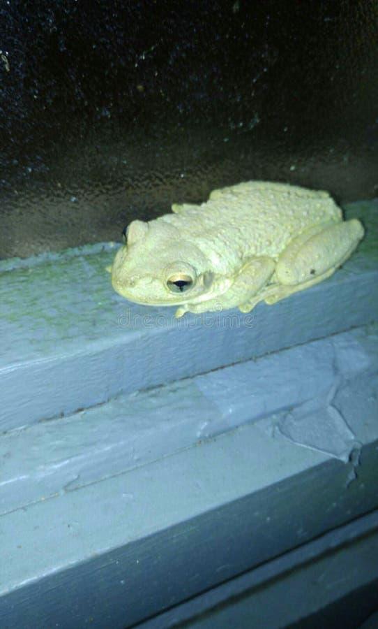 Tropischer Frosch stockfotografie