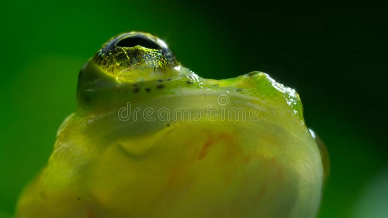 tropischer Glasfrosch vom Amazonas-Regenwald, Hyalinobatrachium Iaspidiense Schönes exotisches Tier mit einem transparenten Bauch stockfotografie