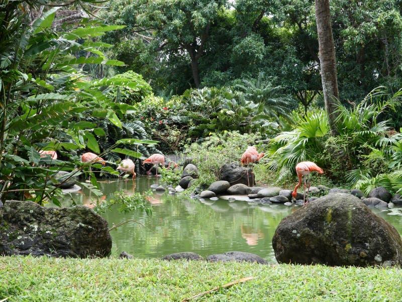 Tropischer Landschaftsgestaltungsgarten-Teich mit Flamingos stockfotografie