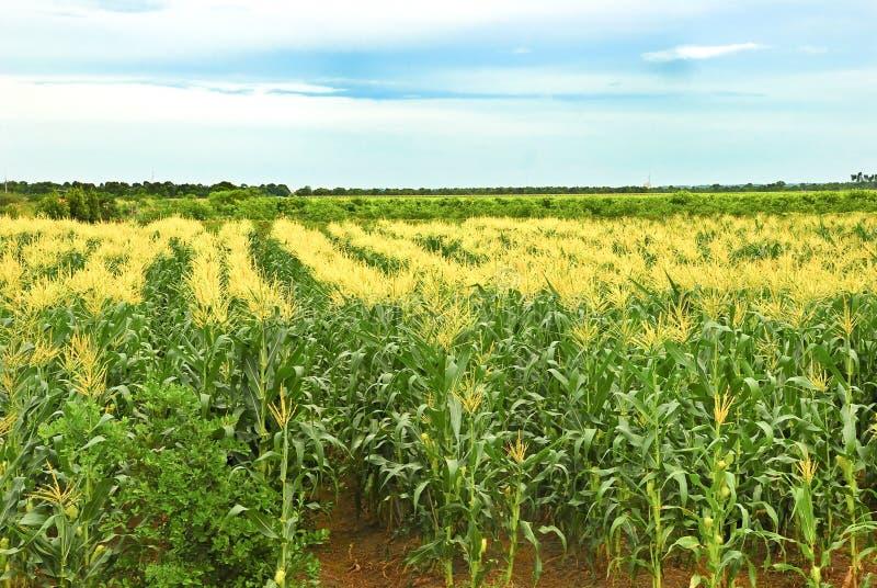 Tropischer Mais-Bauernhof lizenzfreie stockbilder