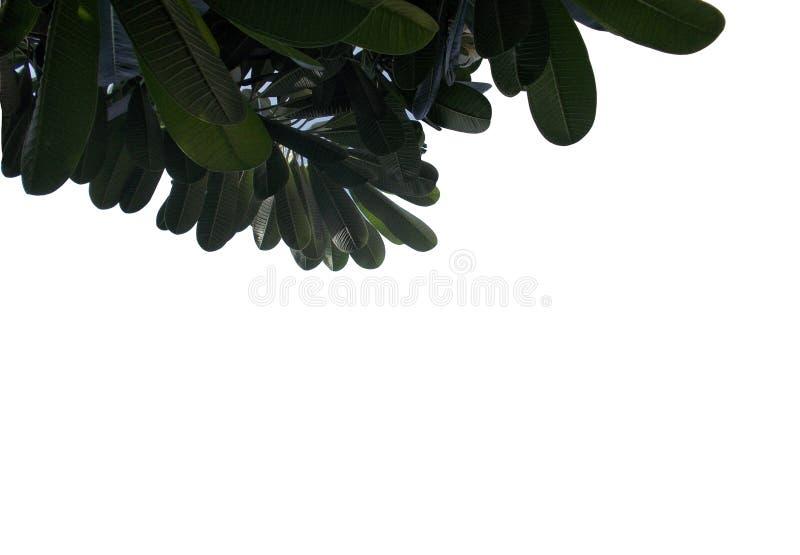 Tropisches Blatt mit den Niederlassungen lokalisiert auf weißen Hintergründen, Draufsichtgrünlaub für Hintergrund lizenzfreie abbildung