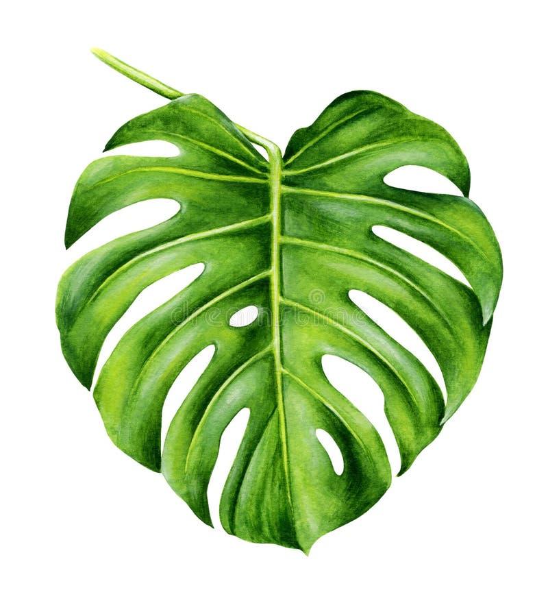 Tropisches Blatt von monstera stock abbildung