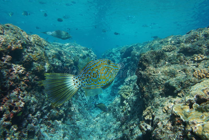 Tropisches gekritzelter Feilenfisch Fische Aluterus scriptus stockbild