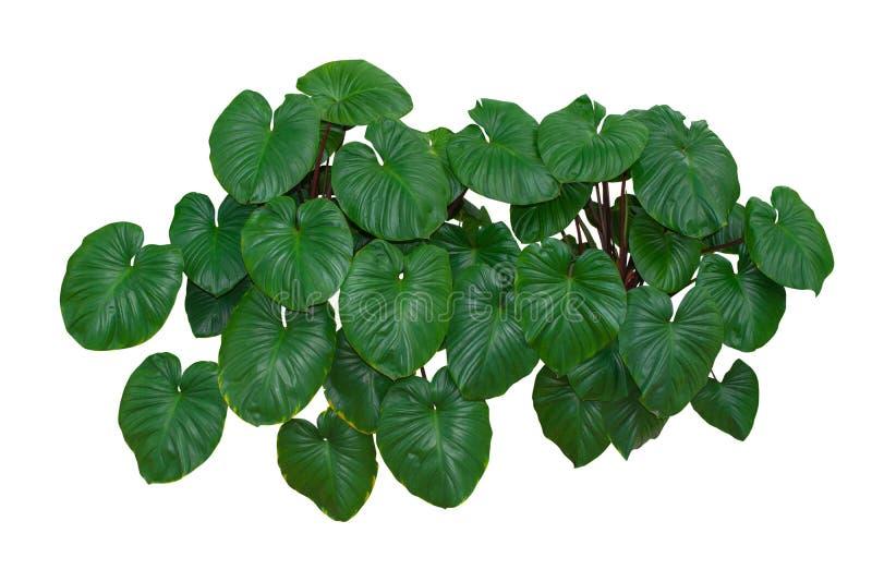 Tropisches Grün lässt Laub, die Dschungel-Betriebsbüsche, die auf weißem Hintergrund mit dem eingeschlossenen Beschneidungspfad l stockfoto