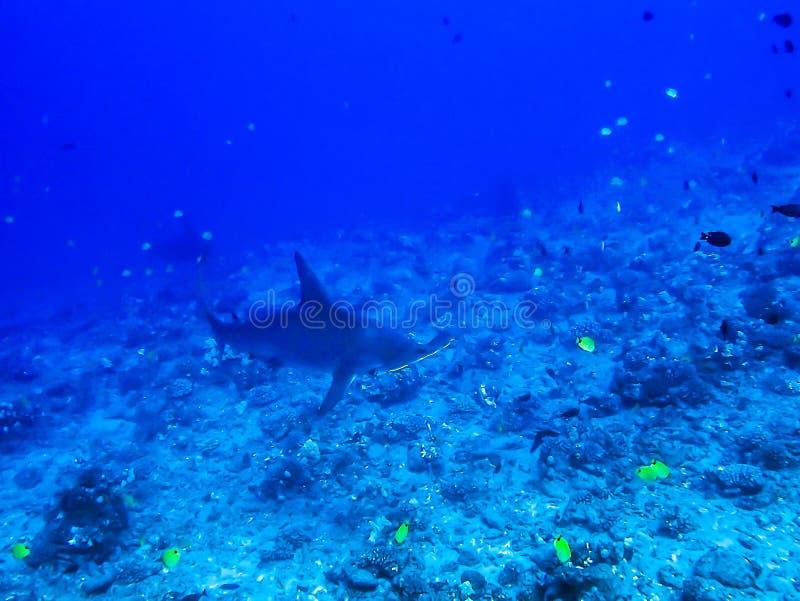 Tropisches Riff mit Hammerhaien und Fischen lizenzfreies stockbild