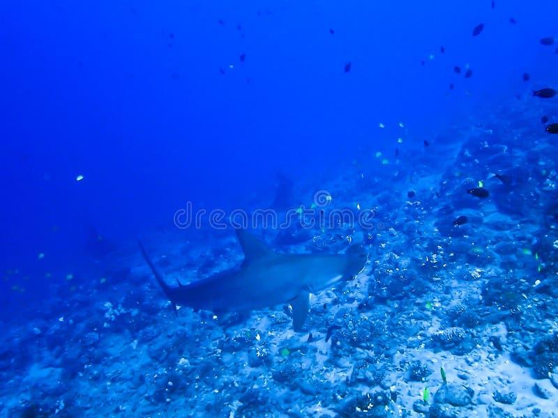 Tropisches Riff mit Hammerhaien und Fischen lizenzfreies stockfoto