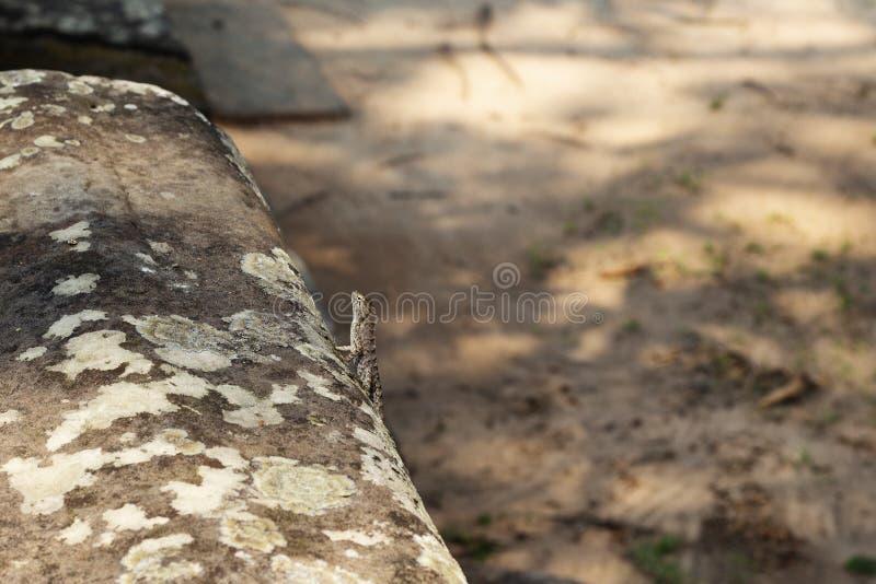 Tropisk ödla på den mossiga stenen Naturligt foto för tropikerna Liten leguan som vilar på den soliga stenen royaltyfria bilder