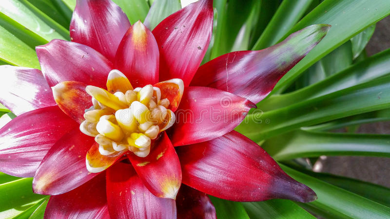 Tropisk ananasblommaväxt arkivbild