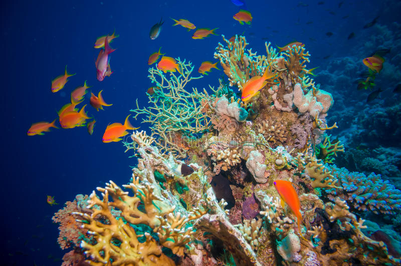 Tropisk Anthias fisk med netto brandkoraller arkivbild