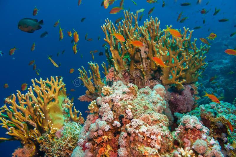 Tropisk Anthias fisk med netto brandkoraller royaltyfri foto