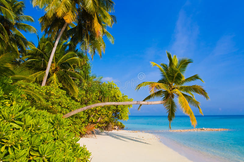 tropisk böjande palmträd för strand royaltyfri bild