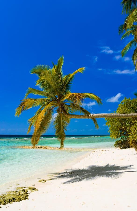 tropisk böjande palmträd för strand royaltyfria bilder