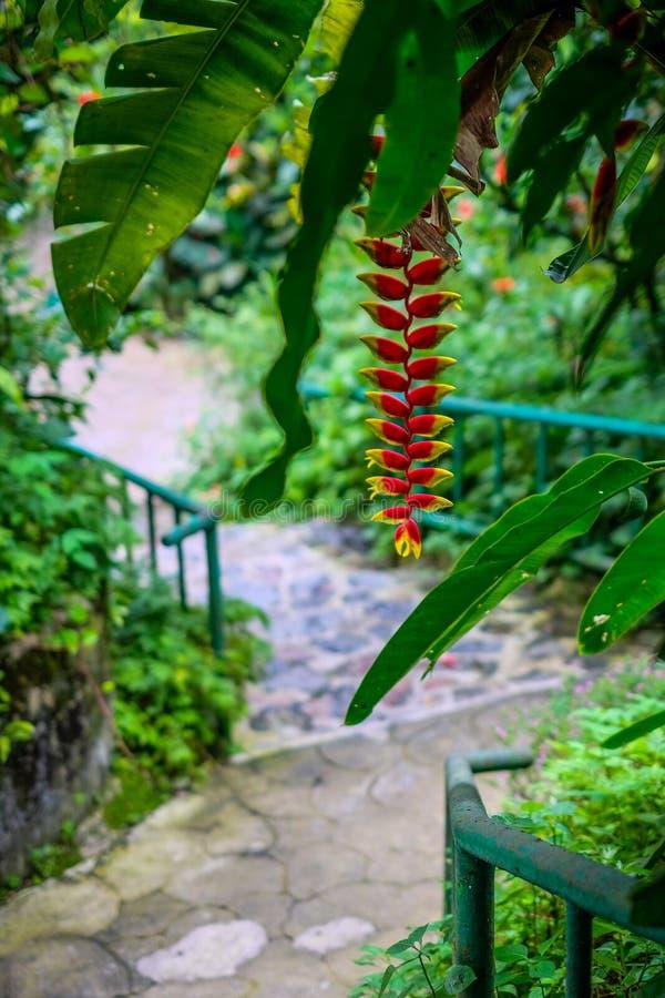 Tropisk bana med den röda och gula hängande blomman arkivfoto