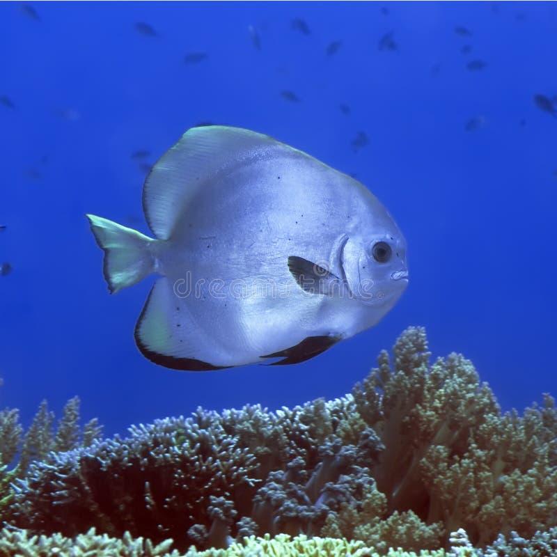 tropisk batfishfisk arkivbild