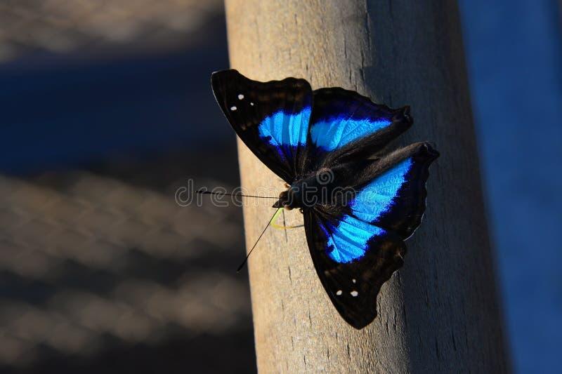 tropisk blå fjäril royaltyfria bilder