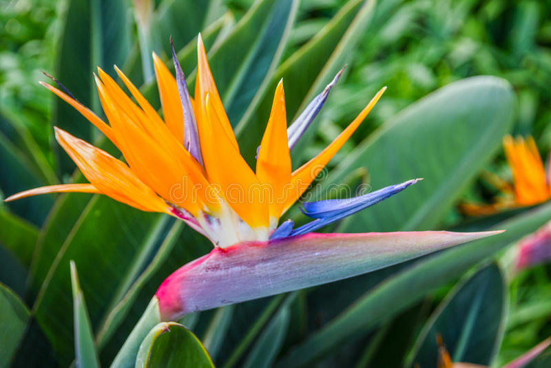 Tropisk blomma, afrikansk strelitzia, fågel av paradiset, madeira I royaltyfri fotografi