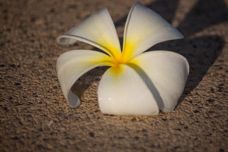 Tropisk blomma för Plumeriafrangipani och vita stenar för zen royaltyfri bild