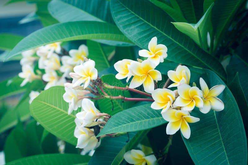 Tropisk blomma för vit frangipani, blomma för plumeriablomma fotografering för bildbyråer
