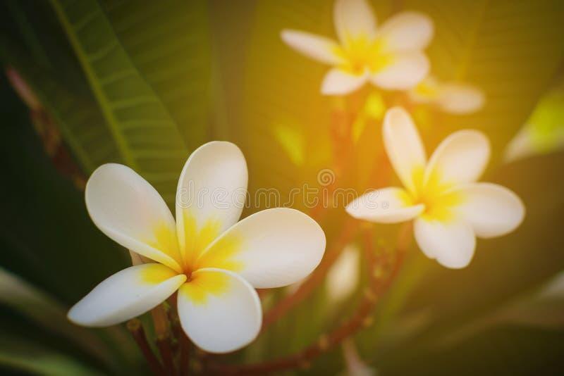 Tropisk blomma för vit frangipani, blomma för plumeriablomma arkivbilder