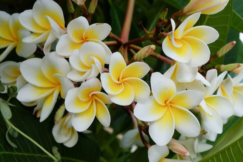 Tropisk blomma för vit frangipani, nytt blomma för plumeriablomma royaltyfria foton