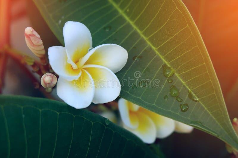 Tropisk blomma för vit frangipani, nytt blomma för plumeriablomma fotografering för bildbyråer
