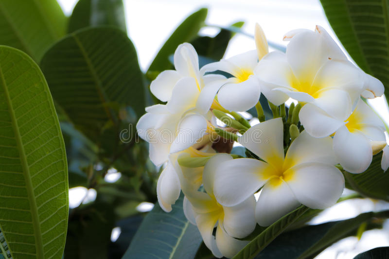Tropisk blomma för vit frangipani, plumeriablomma som blommar på träd, brunnsortblomma royaltyfria bilder