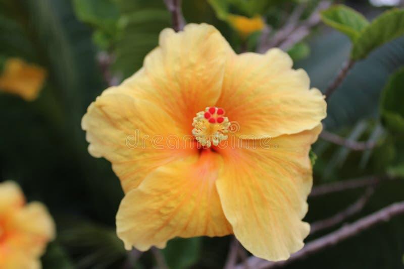 Tropisk blomma i Dominikanska republiken fotografering för bildbyråer