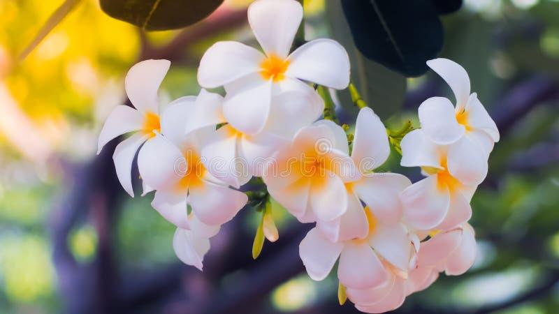 Tropisk blommafrangipaniplumeria H?rlig vit plumeriarubrablomma arkivbild
