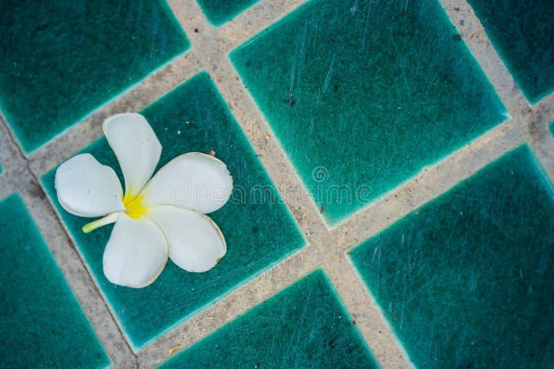 Tropisk blommaPlumeria arkivbilder