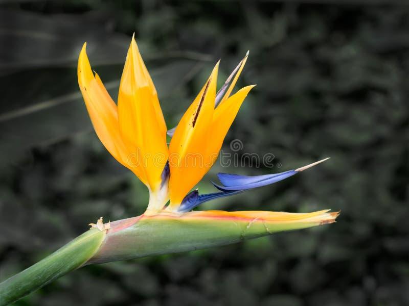 Tropisk blommastrelitzia, fågel av paradiset arkivfoto