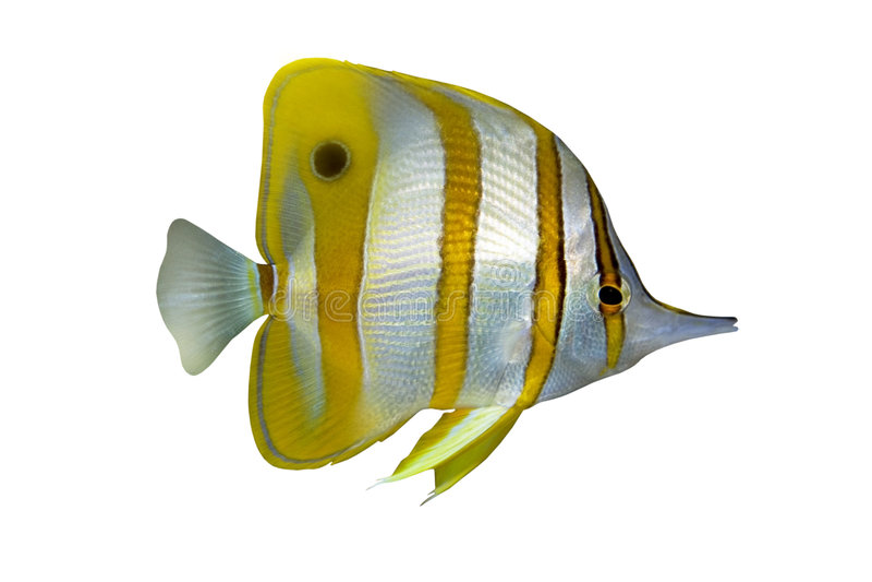 tropisk chelmonfisk