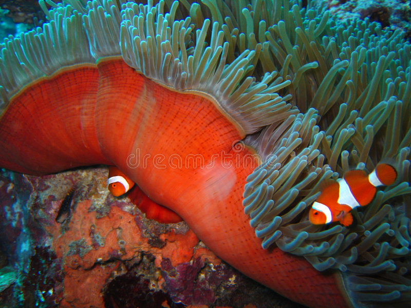 tropisk clownfisk arkivbilder