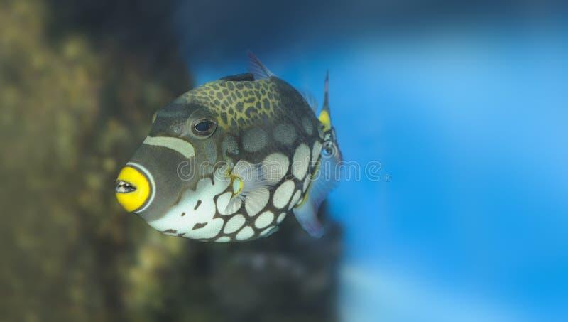tropisk clownfisktriggerfish arkivbild