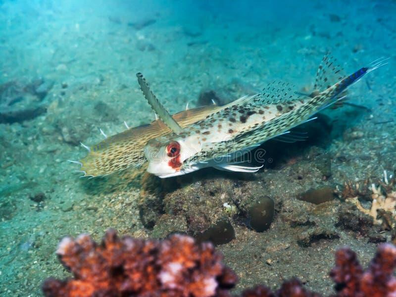 tropisk commonhelmetfiskgurnard arkivbilder