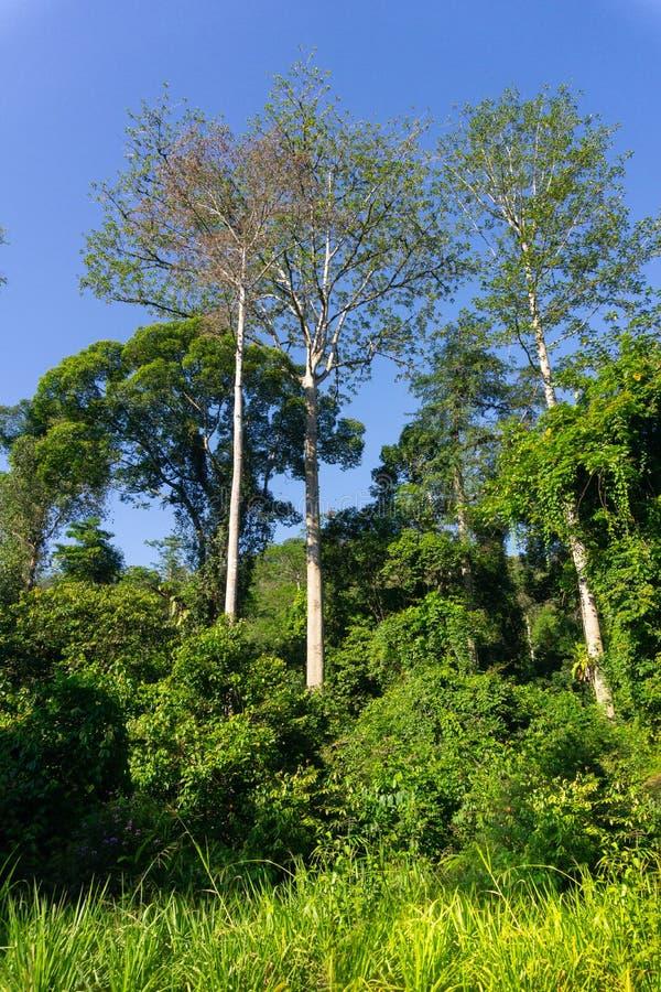 Tropisk djungel i stammar för träd för morgonljus vita royaltyfria bilder