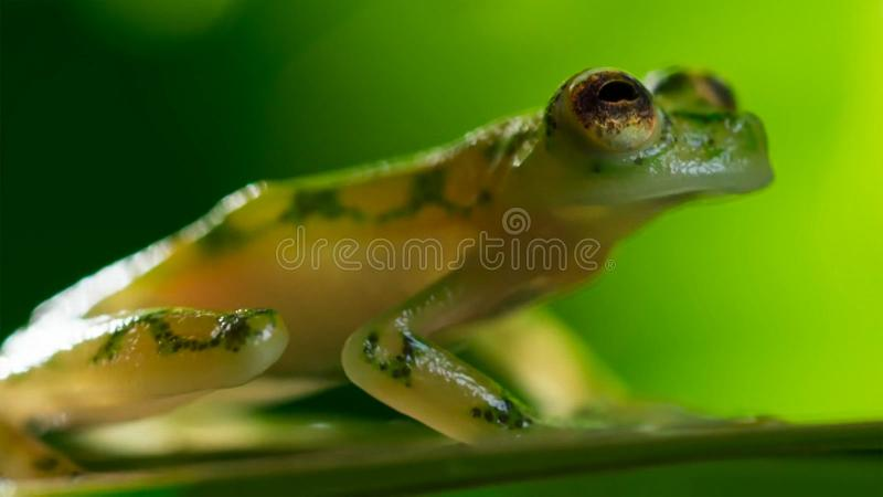 tropisk exponeringsglasgroda från amasonregnskogen, Hyalinobatrachium Iaspidiense Härligt exotiskt djur med en genomskinlig buk o arkivbilder