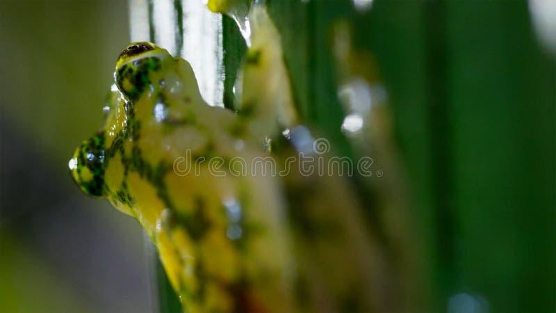 tropisk exponeringsglasgroda från amasonregnskogen, Hyalinobatrachium Iaspidiense Härligt exotiskt djur med en genomskinlig buk o arkivfoto