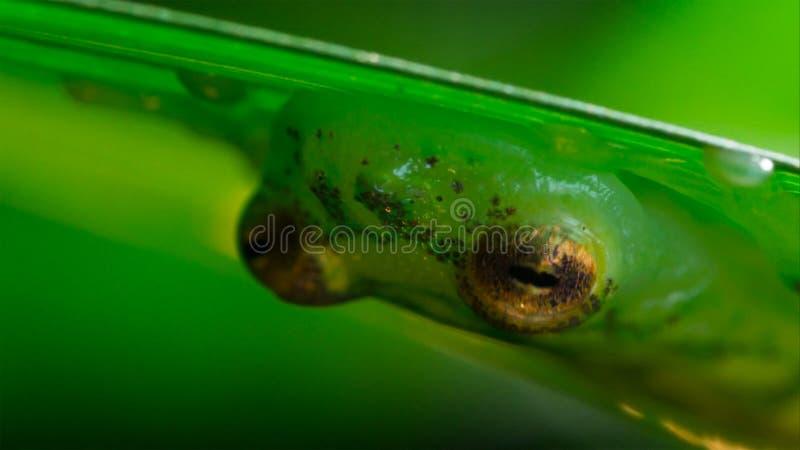 tropisk exponeringsglasgroda från amasonregnskogen, Hyalinobatrachium Iaspidiense Härligt exotiskt djur med en genomskinlig buk o royaltyfri fotografi