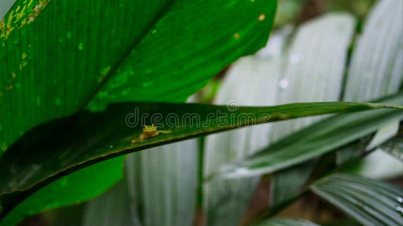 tropisk exponeringsglasgroda från amasonregnskogen, Hyalinobatrachium Iaspidiense Härligt exotiskt djur med en genomskinlig buk o royaltyfri foto