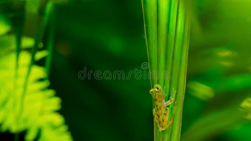 tropisk exponeringsglasgroda från amasonregnskogen, Hyalinobatrachium Iaspidiense Härligt exotiskt djur med en genomskinlig buk o fotografering för bildbyråer