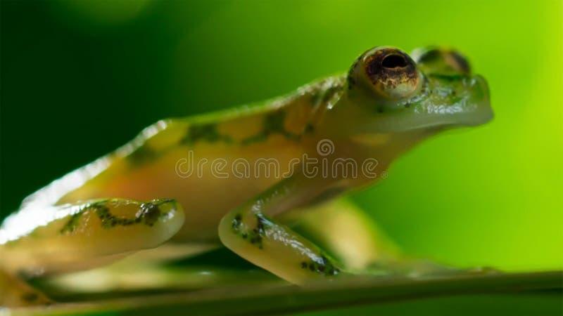 tropisk exponeringsglasgroda från amasonregnskogen, Hyalinobatrachium Iaspidiense Härligt exotiskt djur med en genomskinlig buk o arkivfoton
