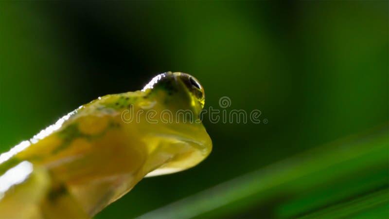 tropisk exponeringsglasgroda från amasonregnskogen, Hyalinobatrachium Iaspidiense Härligt exotiskt djur med en genomskinlig buk o royaltyfri bild