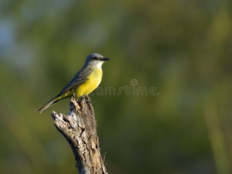tropisk fågelkonung fotografering för bildbyråer