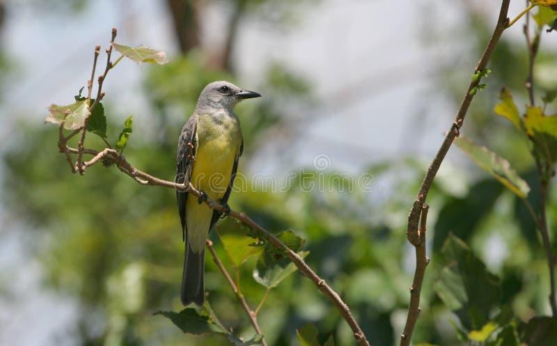 tropisk fågelkonung royaltyfri fotografi