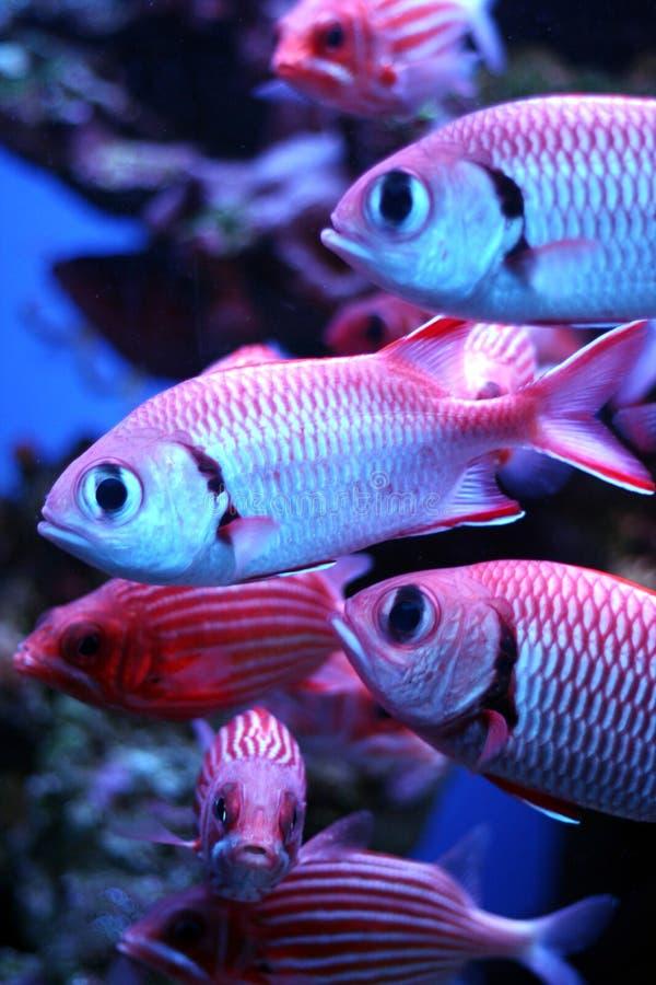 Download Tropisk fisk arkivfoto. Bild av mörkt, brigham, trio, pink - 511524
