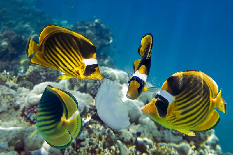 Tropisk fisk som äter manet på Röda havet för korallrev arkivbilder