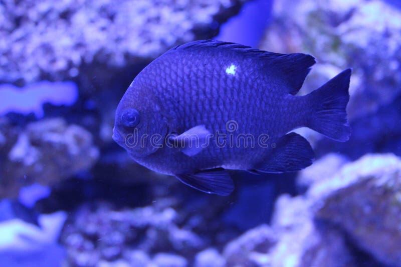 Download Tropisk Fiskdominobrickaung Ogift Kvinna Fotografering för Bildbyråer - Bild av simning, damsel: 76701477