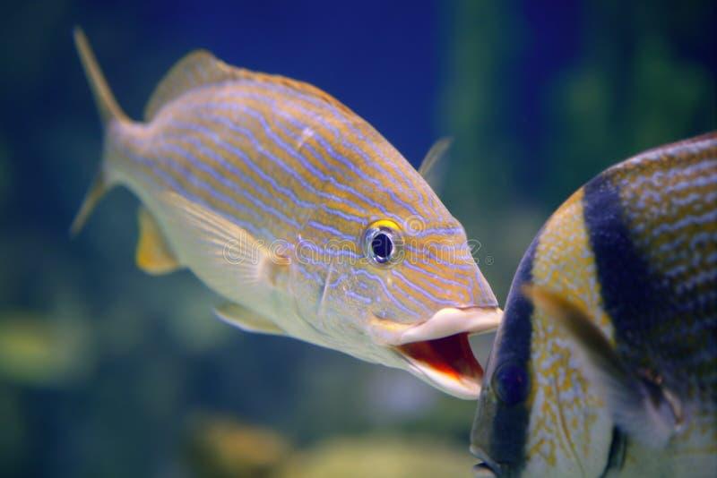 tropisk fisktomtate arkivfoto