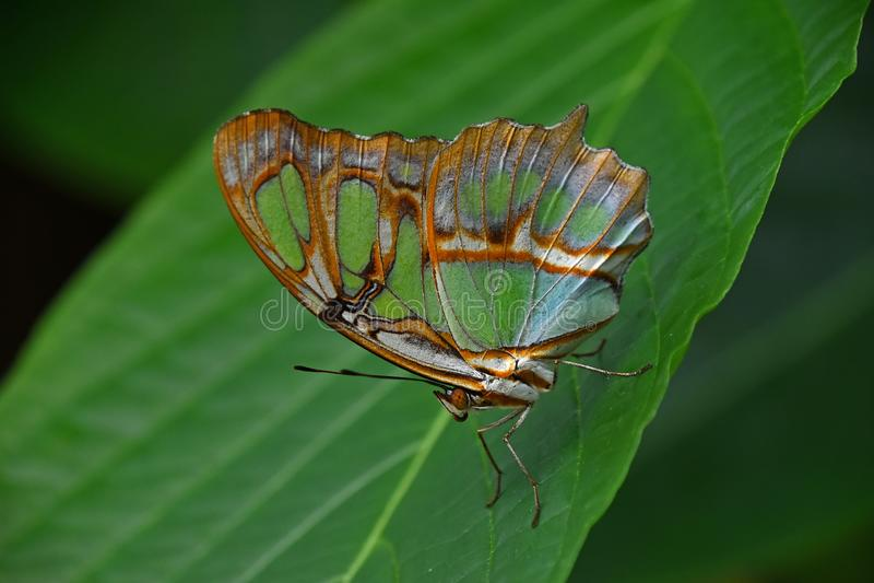Tropisk fjäril för gräsplan och för brunt på bladet arkivfoton